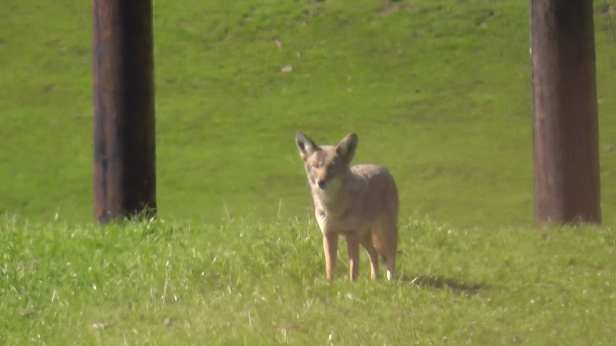 coyote-closeup-2