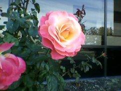 20120916 - rose1