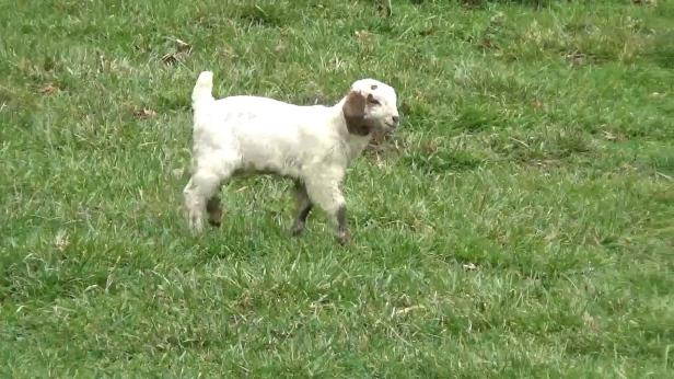 white-baby-goat